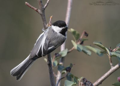 Black-capped Chickadee on a Serviceberry, Little Emigration Canyon, Morgan County, Utah