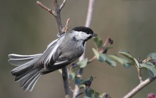 Black-capped Chickadee about to take flight, Little Emigration Canyon, Morgan County, Utah