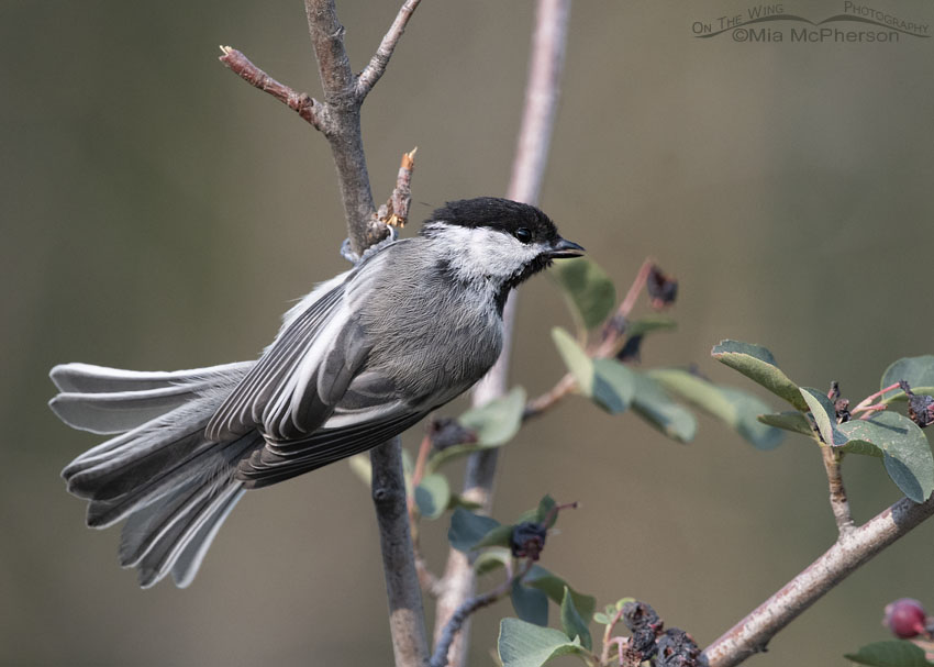 Black-capped Chickadee Images