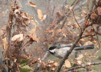 Black-capped Chickadee & Western Tent Caterpillar tent, Morgan County, Utah