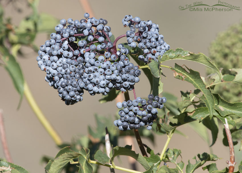 Clump of Blue Elderberry berries, Little Emigration Canyon, Summit County, Utah