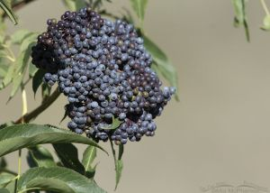 Ripening Blue Elderberry berries, Little Emigration Canyon, Summit County, Utah