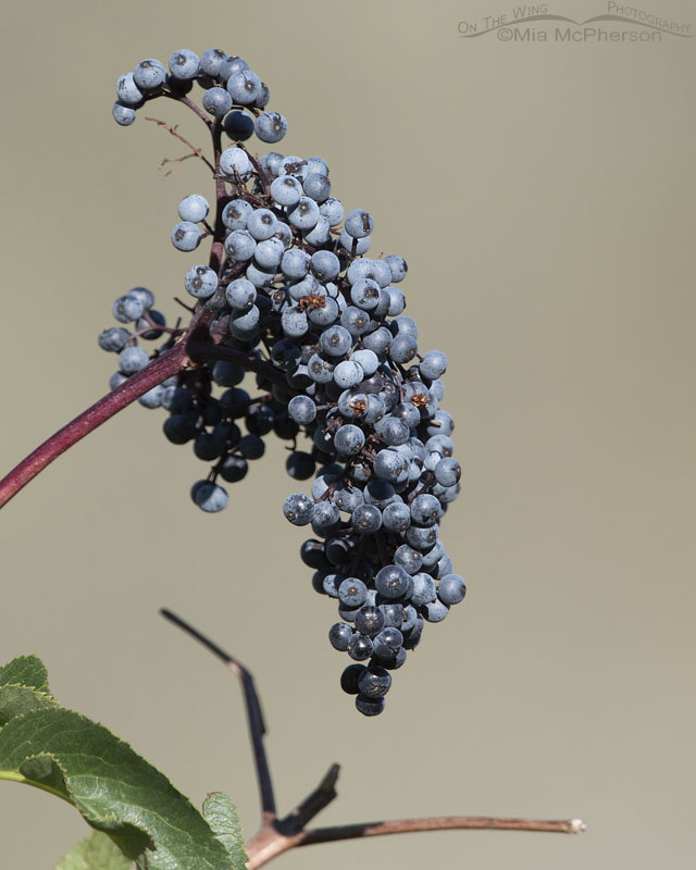 Berries of Blue Elderberry, Little Emigration Canyon, Summit County, Utah
