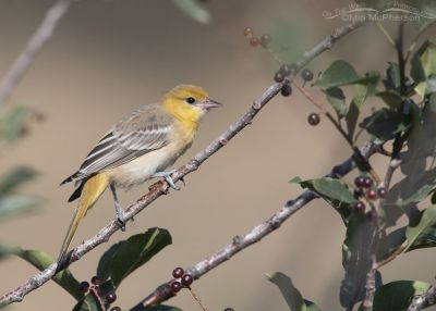 Juvenile Bullock's Oriole in a Chokecherry tree, Little Emigration Canyon, Morgan County, Utah