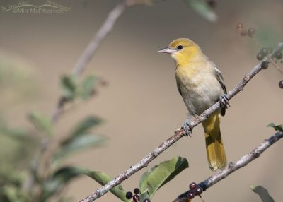 Bullock's Oriole juvenile perched in a Chokecherry, Little Emigration Canyon, Morgan County, Utah
