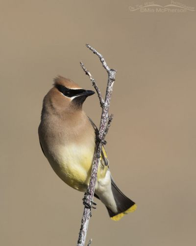 Adult Cedar Waxwing on a twig, Little Emigration Canyon, Summit County, Utah