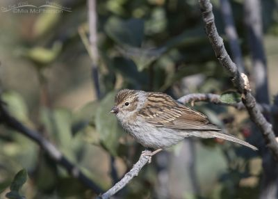 Juvenile Chipping Sparrow with berry juice on its bill, Little Emigration Canyon, Morgan County, Utah