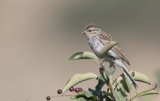 Juvenile Chipping Sparrow perched on a Chokecherry branch, Little Emigration Canyon, Morgan County, Utah