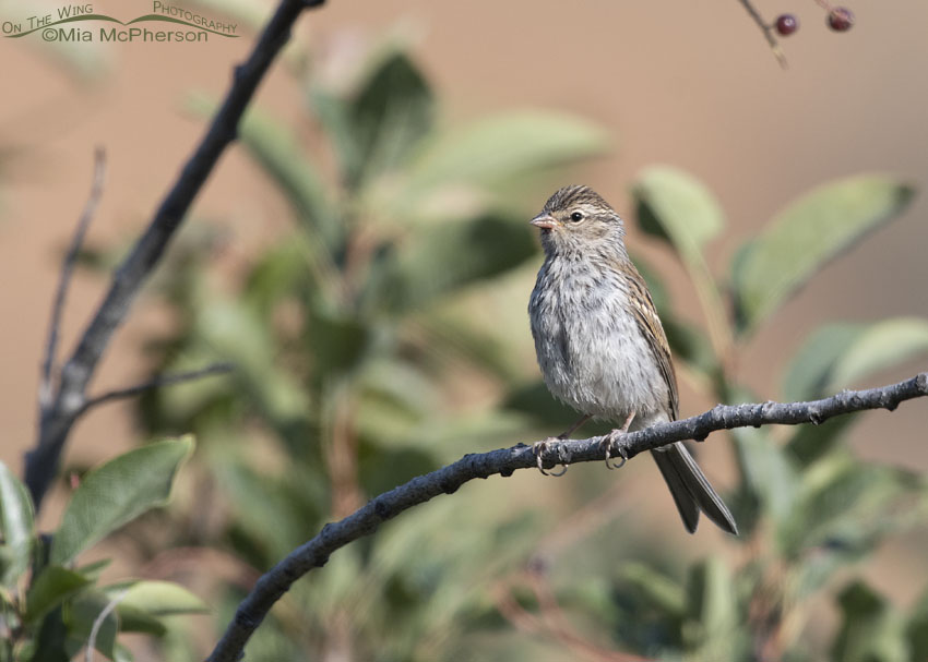 Immature Chipping Sparrow in a Chokecherry Tree, Little Emigration Canyon, Morgan County, Utah