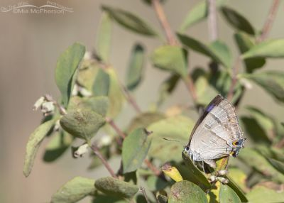 Resting Colorado Hairstreak Butterfly, Little Emigration Canyon, Morgan County, Utah