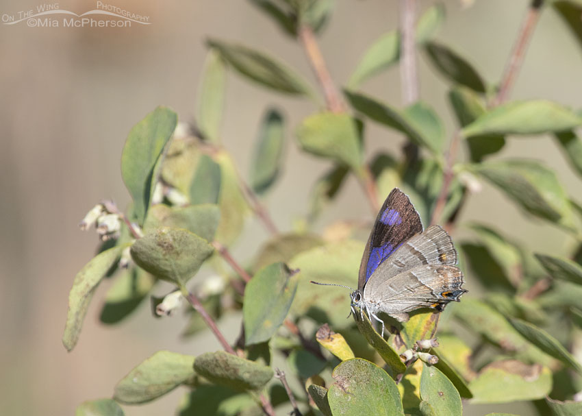 Colorado Hairstreak Butterfly with wings partially open, Little Emigration Canyon, Morgan County, Utah