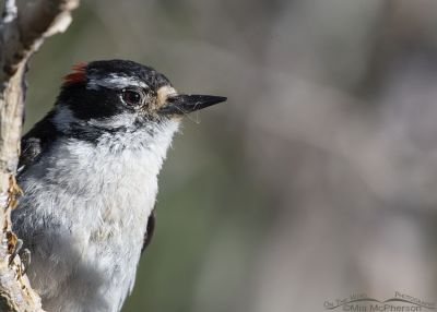 Downy Woodpecker close up, Little Emigration Canyon, Summit County, Utah