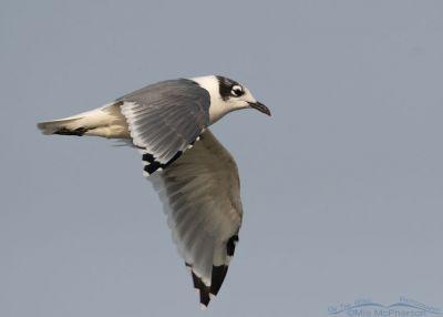 Franklin's Gull in flight over a Bear River MBR marsh, Box Elder County, Utah
