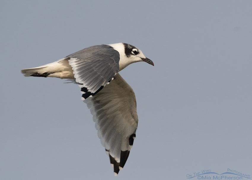 Franklin's Gull in flight over a Bear River MBR marsh