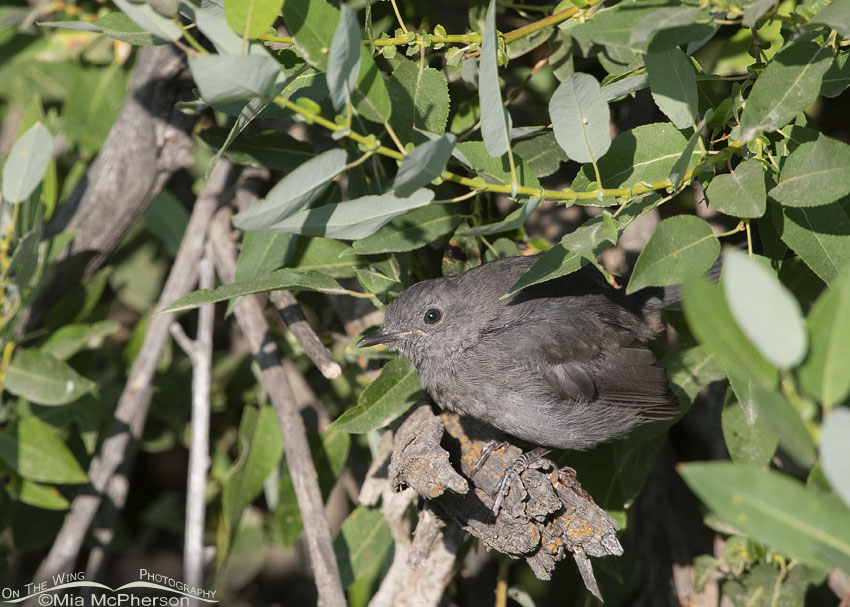 Juvenile Gray Catbird peeking out of a thicket, Little Emigration Canyon, Morgan County, Utah