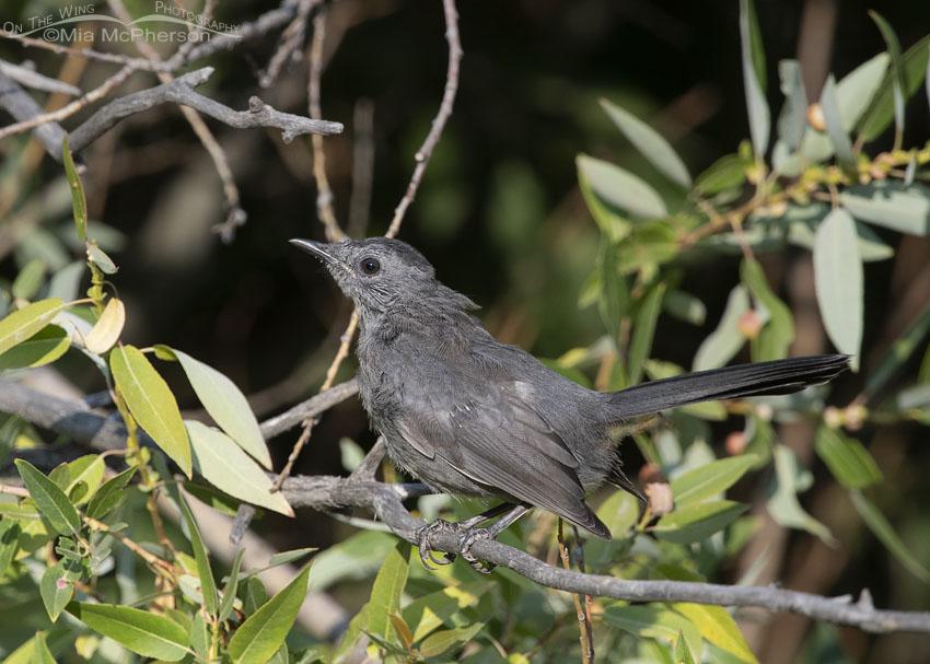 Messy juvenile Gray Catbird, Little Emigration Canyon, Morgan County, Utah