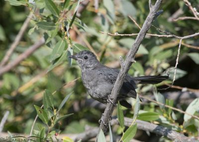 Alert Gray Catbird juvenile, Little Emigration Canyon, Morgan County, Utah