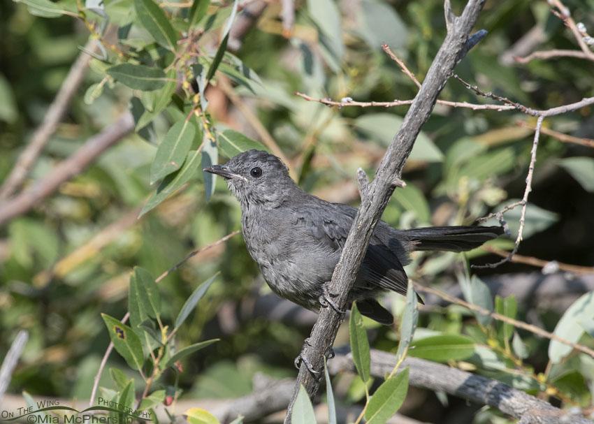 Alert Gray Catbird juvenile, Little Emigration Canyon, Morgan County, Utah