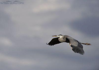 Stormy Sky with a Great Blue Heron in flight, Bear River National Wildlife Refuge, Box Elder County, Utah