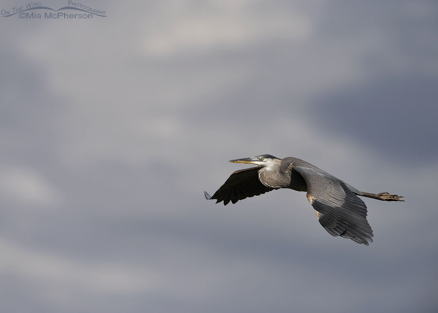 Stormy Sky with a Great Blue Heron in flight, Bear River Migratory Bird Refuge, Box Elder County, Utah