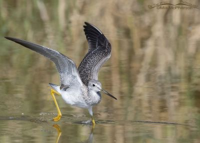 Landing Greater Yellowlegs, Bear River Migratory Bird Refuge, Box Elder County, Utah