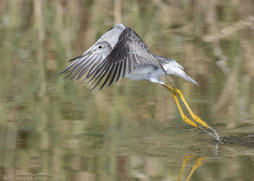 Greater Yellowlegs lifting off, Bear River Migratory Bird Refuge, Box Elder County, Utah
