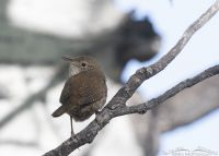 Over the shoulder look from a House Wren, Uinta Wasatch Cache National Forest, Summit County, Utah