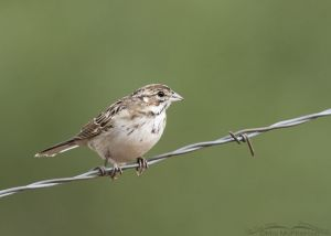 Immature Lark Sparrow in a mountain canyon, Little Emigration Canyon, Morgan County, Utah