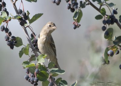 Juvenile Lazuli Bunting perched on a Serviceberry, Little Emigration Canyon, Morgan County, Utah