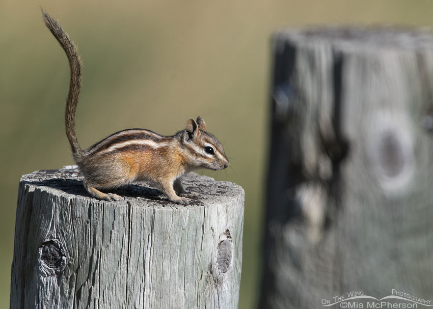Least Chipmunk on a fence post in the mountains, Little Emigration Canyon, Morgan County, Utah