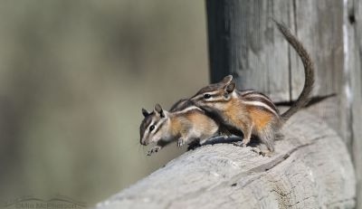 Two Least Chipmunks playing on a fence rail, Little Emigration Canyon, Morgan County, Utah