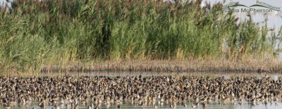 Thousands of Long-billed Dowitchers resting on their fall migration, Bear River Migratory Bird Refuge, Box Elder County, Utah