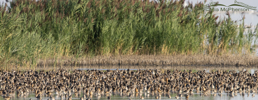 Thousands of Long-billed Dowitchers resting on their fall migration