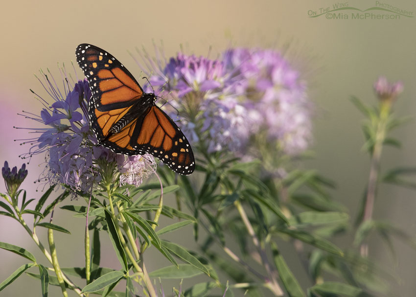 Monarch Butterfly resting on a Rocky Mountain Bee Plant, Antelope Island State Park, Davis County, Utah