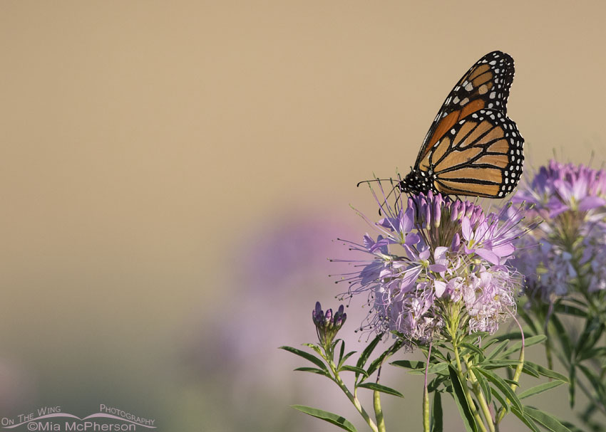 Monarch Butterfly and Rocky Mountain Bee Plant in early morning light, Antelope Island State Park, Davis County, Utah