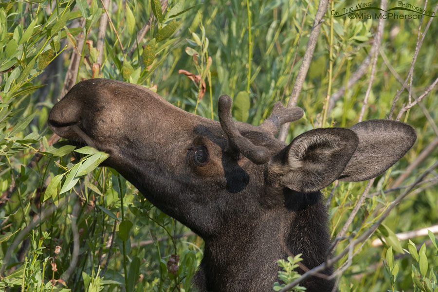 Young bull Moose nibbling on willows, Little Emigration Canyon, Morgan County, Utah