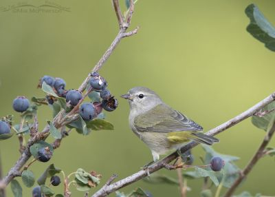 Orange-crowned Warbler in the Wasatch Mountains, Little Emigration Canyon, Morgan County, Utah