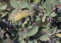 Orange-crowned Warbler peeking out of a serviceberry, Morgan County, Utah