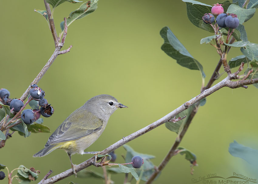 Orange-crowned Warbler perched on a Utah Serviceberry, Little Emigration Canyon, Morgan County, Utah