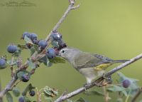 Orange-crowned Warbler feeding on a berry, Little Emigration Canyon, Morgan County, Utah