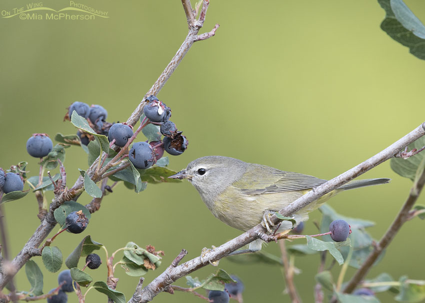 Orange-crowned Warbler Images