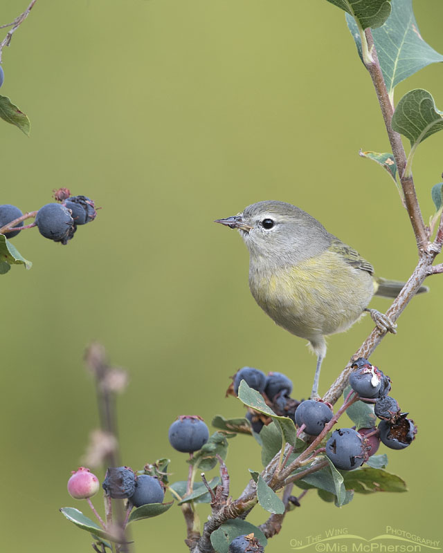 Serviceberry berries and an Orange-crowned Warbler, Little Emigration Canyon, Morgan County, Utah