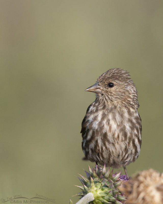 Pine Siskin on a Musk Thistle, Little Emigration Canyon, Morgan County, Utah
