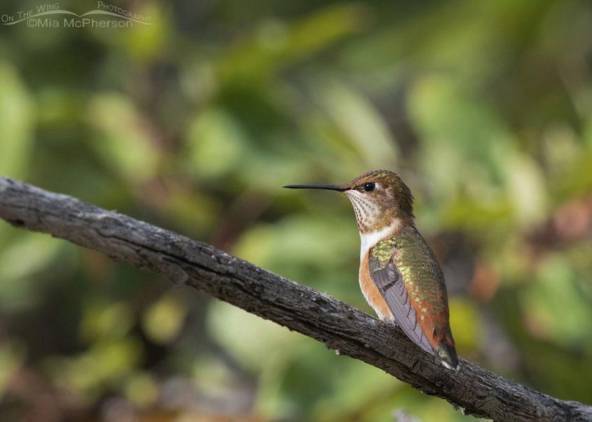 Perched immature Rufous Hummingbird, Morgan County, Utah