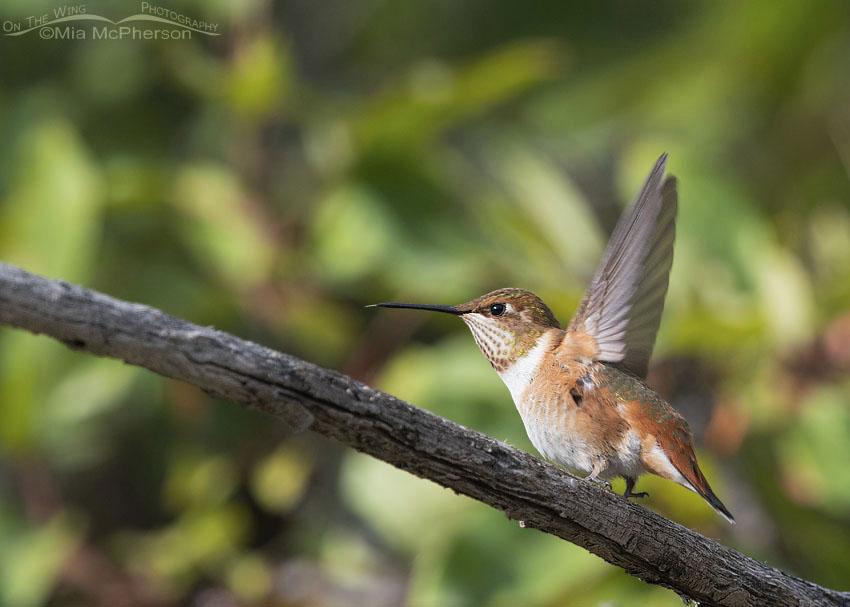 Immature Rufous Hummingbird lifting off, Morgan County, Utah