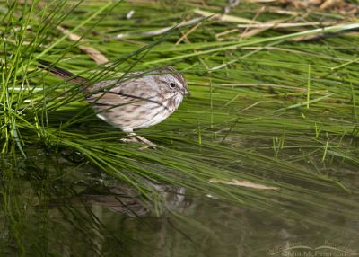 Adult Song Sparrow at the edge of a creek, Little Emigration Canyon, Morgan County, Utah