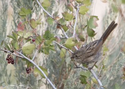 Immature Song Sparrow on a Currant bush, Little Emigration Canyon, Morgan County, Utah