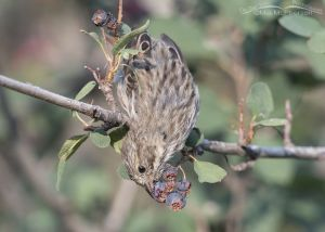 Immature Song Sparrow feeding on Serviceberry berries, Little Emigration Canyon, Morgan County, Utah