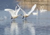 Two running Tundra Swans lifting off from Bear River Migratory Bird Refuge, Box Elder County, Utah