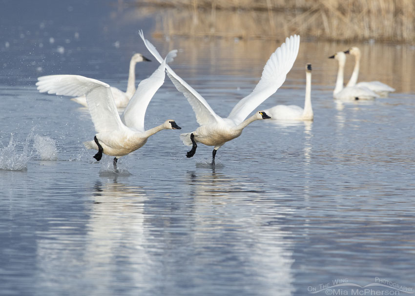 Two running Tundra Swans lifting off from Bear River Migratory Bird Refuge